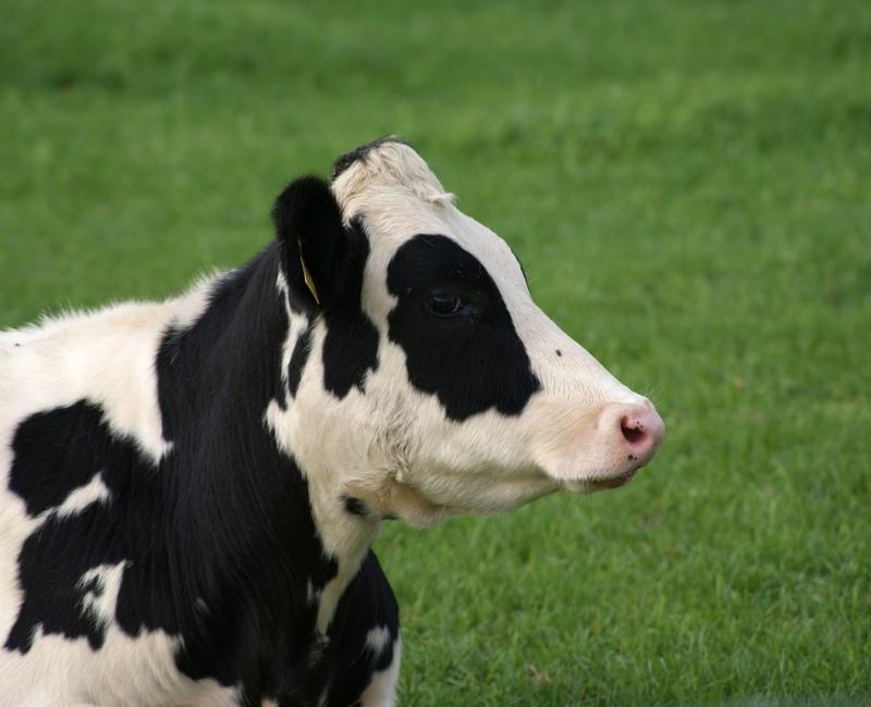 cow-4548537_1280