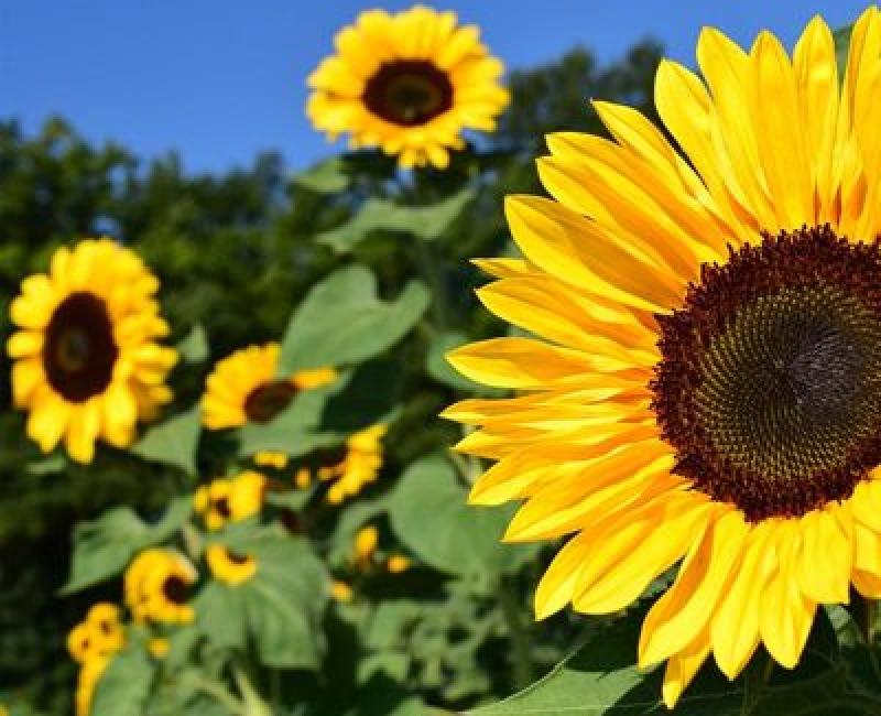 Sonnenblumenfeld © Landwirtschaft Bremen