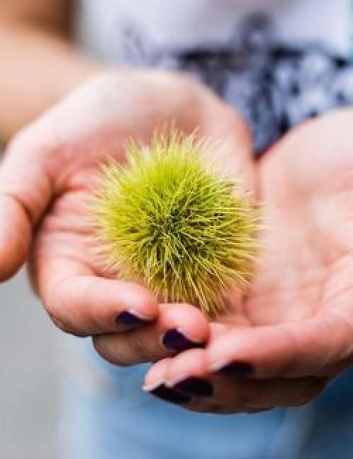 Hände mit Kastanie © Landwirtschaft Bremen