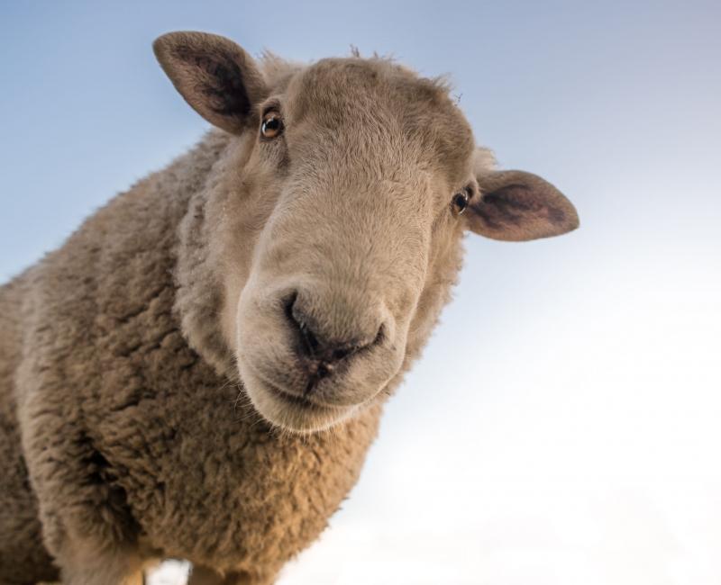 Schaf © Landwirtschaft Bremen